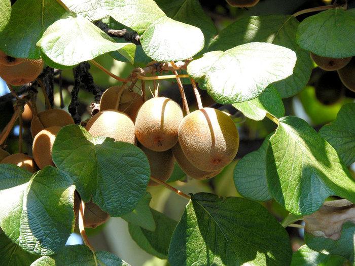 """""""キウイ""""で親しまれるキウイフルーツ(kiwi fruit)は、ニュージーランドに住む国鳥の名前が由来です。「キウイ」という鳥と見た目が似ていることから名付けられたのだそう。キウイの歴史は約百年前、中国からニュージーランドに伝わったことが始まりとされています。"""