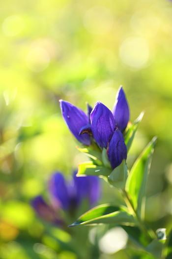 美しい寒色が特徴的なリンドウは実は日本原産のお花で、日本のほぼ全域でみられます。古くから漢方としても使われ、親しまれてきました。深みのある青や水色、紫などの色が一般的ですが、ピンクや白といった明るい色味のお花もあります。