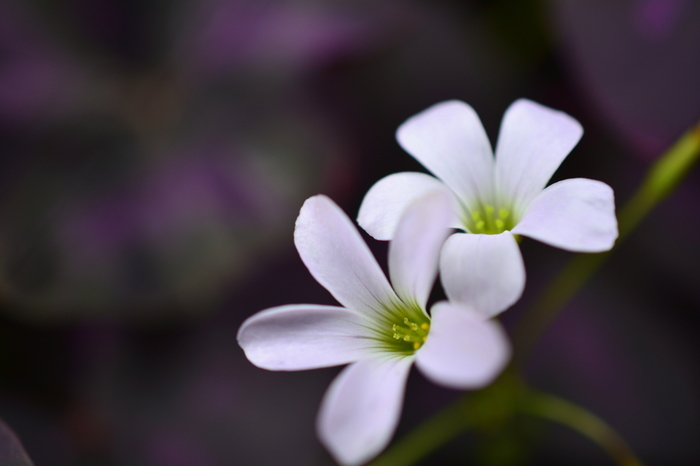 生命力が強く、世界ではなんと850種類以上あるといわれるオキザリス。カタバミという雑草の一種ですが、整った花弁の美しさは思わずじっと見つめてしまうほどですね。