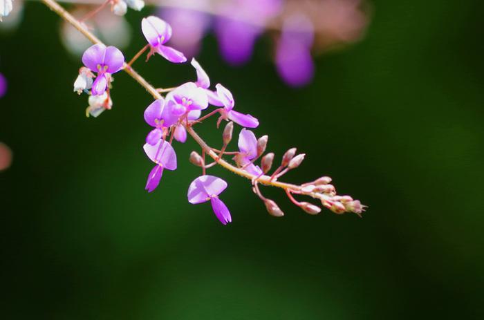 秋の七草のひとつでもある萩のお花。細くしだれる枝先に、小さな特徴的なかたちの紫のお花をたっぷりとつけます。中秋の名月には萩のお花をお供えし、美しいお月さまを愛でれば、秋の雰囲気もばっちり味わえますね。