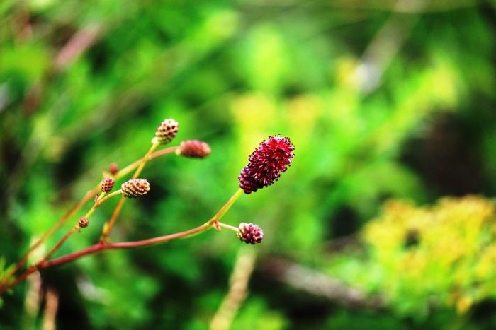 ワレモコウは上から下に向けて順番に穂のような花が咲いていきます。ここから、変化、うつろいといった花言葉がついたと考えられています。どこか寂し気な印象ですが、物思いにふけりたい秋をあらわすにはぴったりのお花ですね。