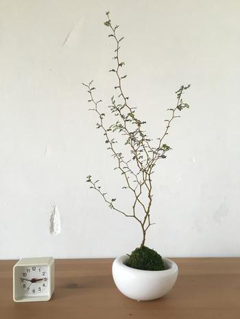 背の高いソフォラリトルベイビーの苔玉です。細かに枝分かれする様子が可愛らしくて絵になります。そっと飾っておくだけで、素敵な空間に早変わり◎