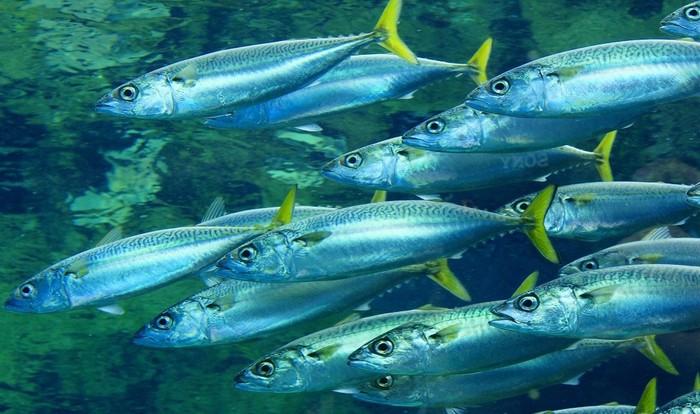 鯖の旬は、10月~翌2月頃。代表的なものは日本近海で獲れるマサバで、10~11月のものを「秋鯖」、12月以降のものを「寒鯖」ともいい、脂がのっているのが特徴です。ちなみに、ゴマサバは一年中獲れ、脂は少なめ。また、鯖はDHAやEPAがずば抜けて豊富なことなどから、栄養食材としても注目されていますね。