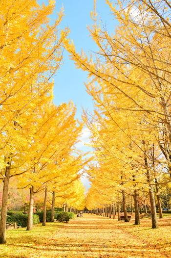 山形県天童市にあるいちょう並木の名所「山形県総合運動公園」。「いちょうの道」と名付けられ、正面入口からいこいの広場に向かって並木が続いています。