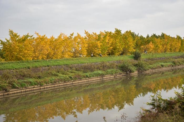 川沿いにもいちょう並木が続いています。
