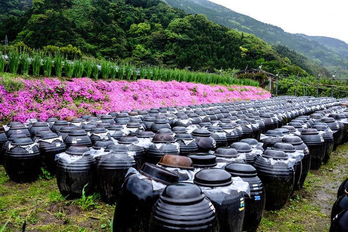 一般の米酢(よねず・こめず)が精米を原料にするのに対して、黒酢は玄米を使って発酵・熟成させるのが主流。アミノ酸たっぷりで米酢よりも栄養豊富なだけでなく、自然環境の中で1~3年長期熟成させる製法を取るため、まろやかさと香り高さも格別です。