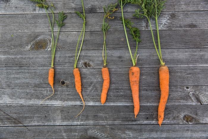 ビタミンA、C、B1、そして鉄分も含み免疫力を高めてくれる効果が期待できるβカロテンを豊富に含み、和洋中なんでもぴったりマッチする万能な野菜、人参も今が旬。常に野菜売り場に並び、食卓を彩ってくれていますが、やはり旬の今だからこそたっぷり美味しく頂きたいものです。そこで今回は、寒さを感じ始めるこの季節に頂きたい、10月の旬食材を使った献立構成案をご紹介したいと思います。