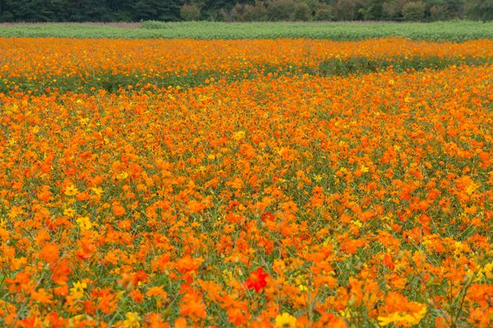 「花の都公園」では季節ごとに美しい花が咲き誇ります。10月中旬まではコスモスが一面に咲き誇ります。また、花の公園内の有料エリア、清流の里以外の場所は無料で見られるのも嬉しいスポットです。