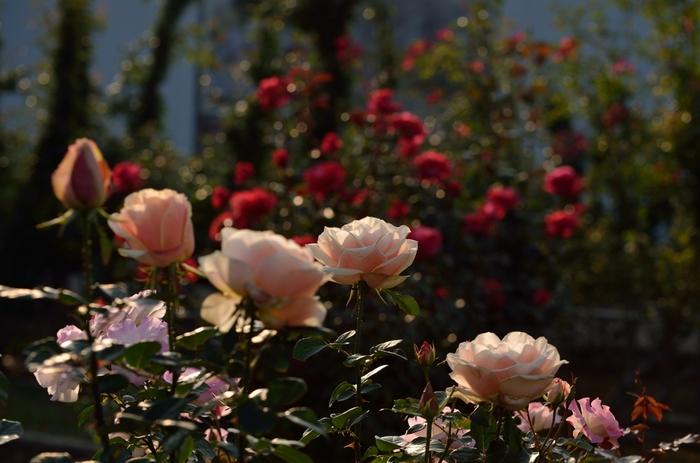 いかがでしたか?東京近郊の秋バラを楽しめるスポットの数々。秋のバラは小ぶりですが、色が濃く香りも豊で、バラ園によっては周囲の秋景色も合わせて堪能できたり、海とバラ、洋館とバラなど絵になる光景を楽しめたりします。今年の秋は、深みのある素敵な秋バラを観にカメラ片手におでかけしませんか?