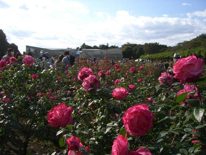 園内は、つつじ園やうめ園、はぎ園など植物の種類ごとに30ものブロックに分けられています。また、平成28年にリニューアルした大温室では、珍しい熱帯の植物やカラフルな花々を鑑賞でき、冬の日や雨の日に訪れても楽しめそう。そして大温室前のバラ園では約400品種・5,200株ものバラが栽培されており、春と秋のシーズンにはバラフェスタが開催されます。