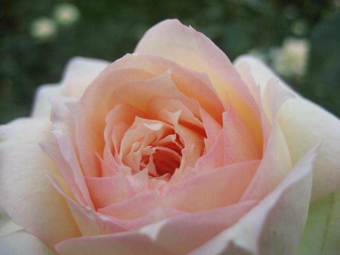 2018年の「秋のバラフェスタ」は、10月10日(水)~10月31日(水)。ガイドツアーやコンサートなど、様々なイベントが開催され、期間中の土日祝日には、バラの香りが最も強い朝に鑑賞できるように早朝開園も実施されるので、早起きしてうっとりするような香りに包まれながら朝のバラ園の散策はいかがでしょうか。