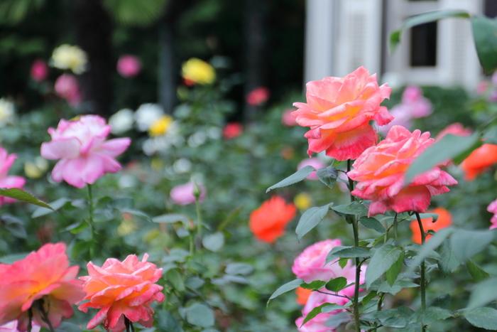 鹿鳴館やニコライ堂を設計した英国人ジョサイア・コンドル博士設計の小高い丘に建てられた洋館と洋風庭園。さらに、京都の庭師であり七代目植治こと小川治兵衛氏が手がけた日本庭園など、見どころの多い人気観光スポットです。春と秋のバラのシーズンは、バラフェスティバルが開催され、音楽会やワークショップなど参加したくなるイベントも盛りだくさん。