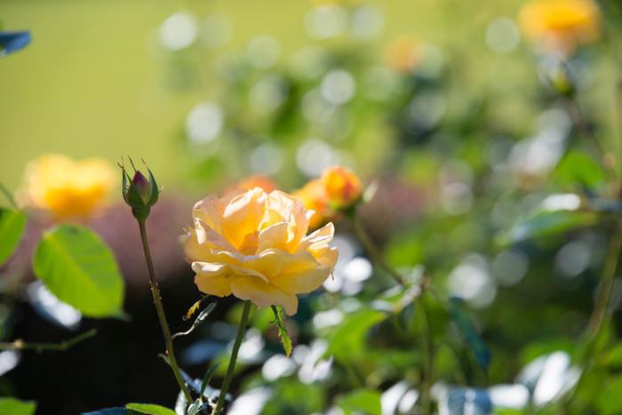 秋バラの見ごろは10月中旬~11月下旬。詳しくは公式サイトをチェックしてください。