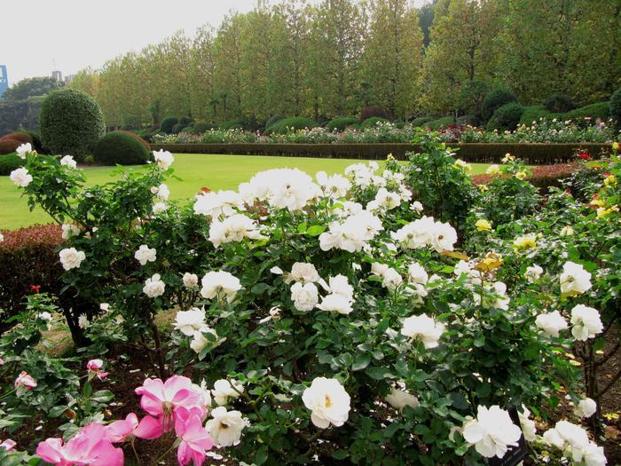 58.3ヘクタールもの広さがあり、周囲は約3.5kmもある広大な敷地を持つ園内には広々とした大芝生のイギリス式自然風景園,池泉回遊型の日本式風景園など見応えのある名園が広がり、バラは画像のフランス式整形庭園に、110種約500株ほど植栽されていて、初夏と秋にはバラ目当ての観光客でよりにぎわいをみせています。