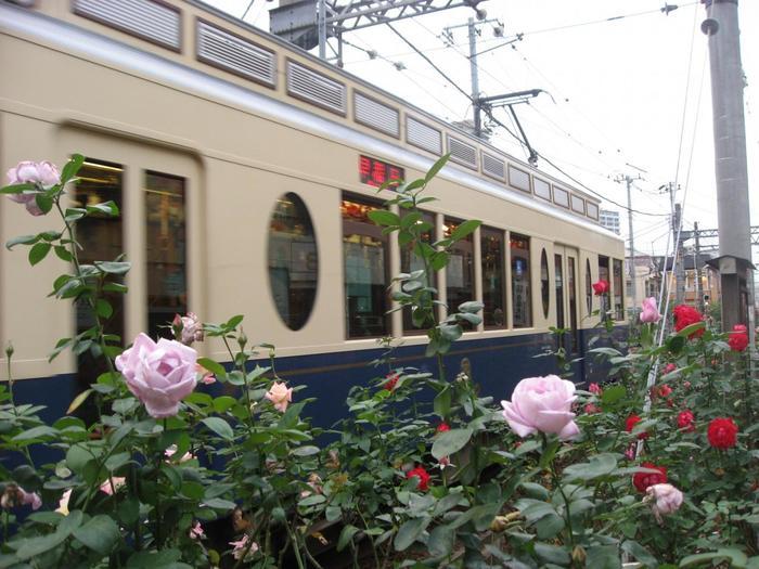 """そのうち約4.8キロメートル(13駅)にわたって荒川区を横切っています。荒川区は昭和60年度から東京都交通局の協力を得て""""みどりの軸""""として沿線を緑化することにし、区内の延長約4.8kmのうち、植栽が可能な約4kmの区間に約140種13,000株のバラを植栽しており、秋のバラの見ごろは、10月中旬から11月上旬頃。"""