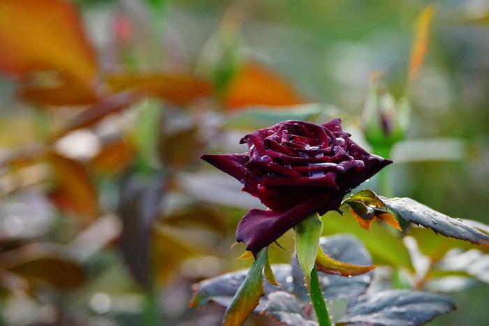 秋バラお見ごろは10月中旬から11月中旬頃。シックで色の濃い秋バラはずっと眺めていても飽きないくらいに素敵。