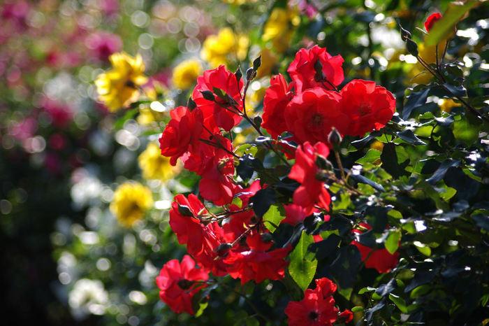 バラは、オールドローズや四季咲きのモダンローズ、ツルバラなど約370品種、1200株。