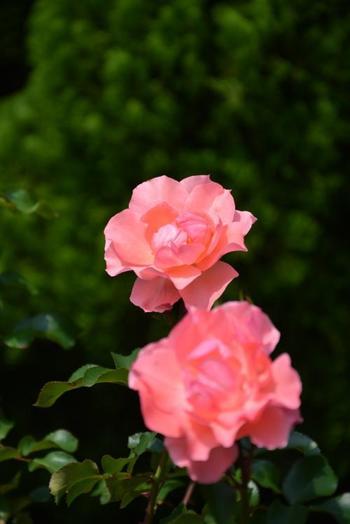 秋バラの開花期間は、10月中旬~11月下旬頃。約1,400株のバラを楽しむことができます。