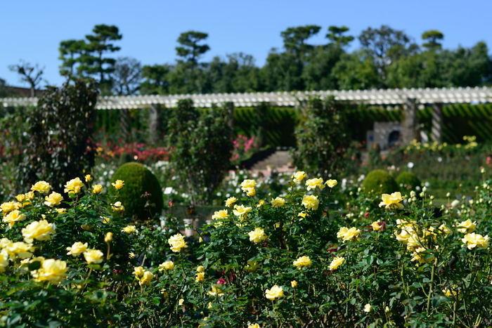 関東有数のバラのスポットとして人気のバラ園は、春だけでなく秋も多くの人で賑わいをみせています。