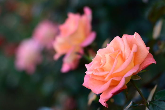 秋バラの開花時期は10月~11月頃。詳しくは公式サイトをチェックしてください。また、開園、閉園時間や入園料、休園日なども時期により異なるので、こちらも行く前にしっかりチェックしておくと安心です。
