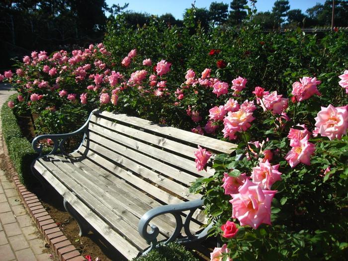 約12,600平方メートルある園内には800種、7,500株のバラが咲き誇り、香りの庭コーナーや、長さ50mのバラのトンネル、皇室王室コーナー、有名人コーナー、イングリッシュローズコーナーなど見応えもあるので、時間をかけてゆっくりと楽しめそう。