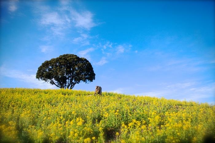 千葉県の房総半島といえば一年を通じて穏やかな気候が特徴。とくに南房総エリアの海沿いは、真冬でも平均気温が都心部より2~3℃高く、一足先に春を感じられる花々が咲き乱れることでも有名です。