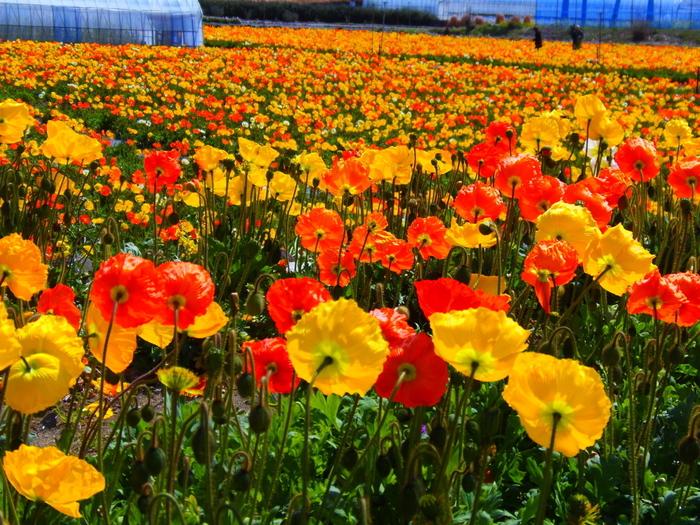 洲埼灯台と野島埼灯台の間にある房総フラワーライン沿いの花の楽園。7,500㎡の広大な楽園では1年を通して美しい花が見られるだけでなく、お花摘みやパターゴルフ、釣りなど家族で楽しめるものがいっぱい!また、体験工房ではハーブリース作りやゼリーキャンドル作りなど様々な体験ができます。