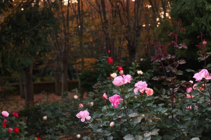 秋色の木々を背景にしっとりと咲く秋のバラも風情があり、まるで絵画の世界のよう。