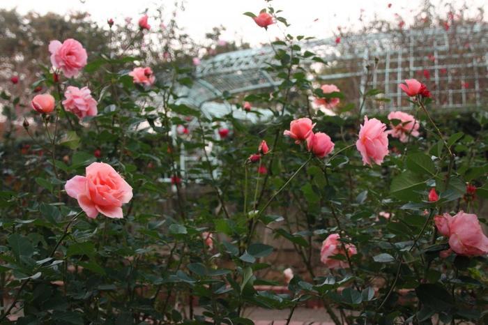 都市緑化植物園には季節の花が植えられた大花壇やバラ園があり、約64種、650本のバラが植えられています。