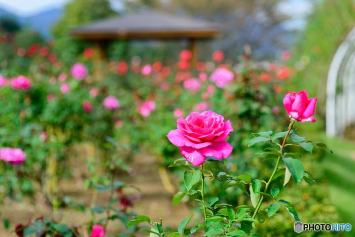 約3万株・約750品種ものバラが園内に咲き誇り、バラ以外にも秋から冬にかけて、ダリア、ベコニア、パンジー、ビオラ、マリーゴールドなど多くの花を見ることができて大満足。