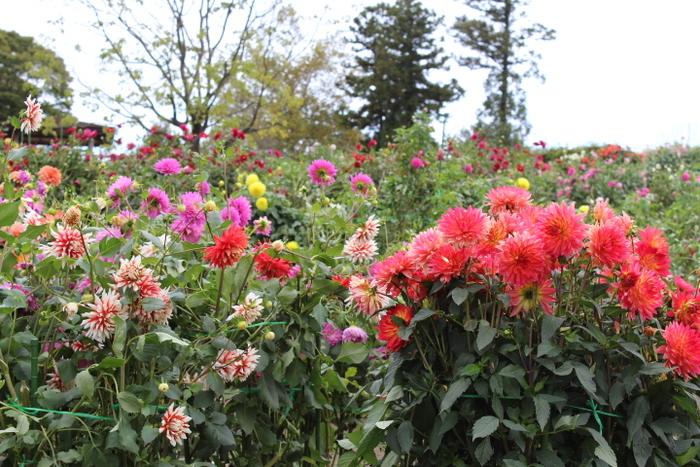 特に秋バラと同じ時期に見ごろを迎えるダリアは有名で、2018年は ダリアまつりが、9月8日(土)~11月4日(日) 秋バラまつりが、9月20日(木)~11月4日(日) のスケジュールで開催されるので、9月下旬から11月の上旬に訪れれば、春に負けないくらい秋の園内は、美しい彩りであふれていて華やか。