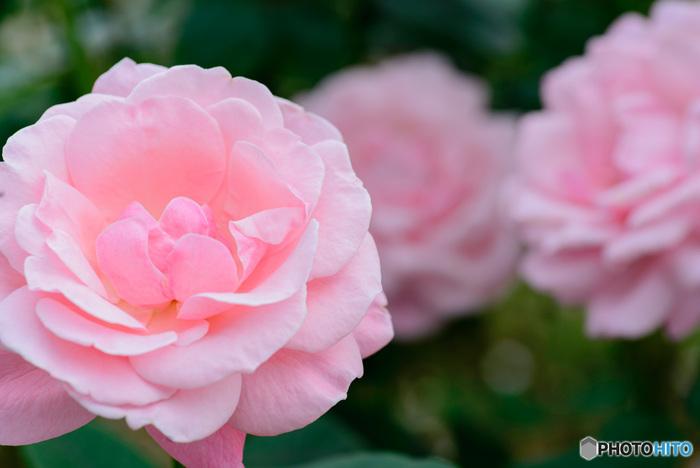 秋のバラの見ごろは、9月下旬~11月上旬。