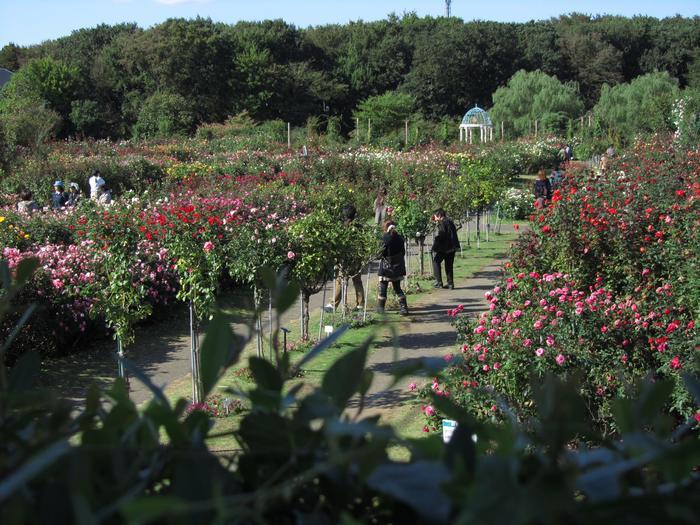 東葉高速鉄道の八千代緑が丘駅から徒歩約15分の距離にある「京成バラ園」。30,000㎡ のバラ園は関東屈指のバラのスポットとして有名で、春、秋、それぞれのバラのシーズンにはフェアが開催される他、1年を通して、コンサートや展示会などのイベントや各種セミナーも開催されているのでいつ訪れても楽しめそう。