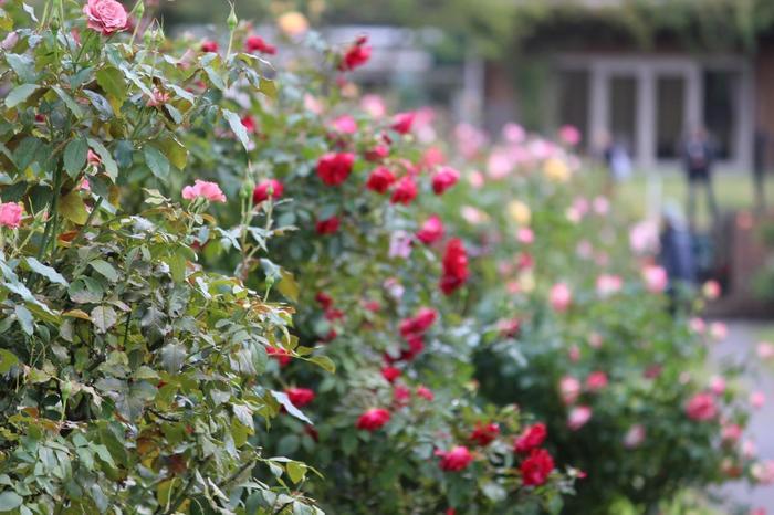 園内は整形式庭園の他に自然風景式庭園もあり、それぞれ味わい深い光景を楽しめます。小ぶりながら、色が濃く香りの良い秋バラがたくさん咲いている光景は、見ているだけで心が和みそう。