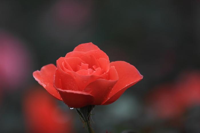 秋バラの見ごろは10月上旬~11月中旬。秋バラのシーズンにはオータムフェアも開催され、2018年は、スイーツやフルーツ、などの名前のついたバラをピックアップし「おいしいバラ園」をテーマとしたイベントが10月6日(土)~11月11日(日)の期間、開催されます。