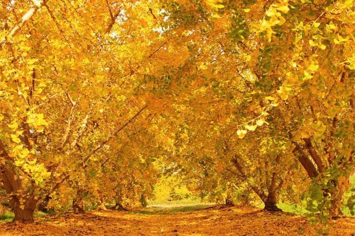 愛知県稲沢市の祖父江町には、樹齢200年を超える古木やいちょう並木のトンネルなど1万本以上のいちょうの木があります。