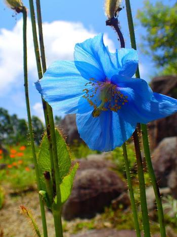 ソラテラスからの雲海を待っている間に山野草ガーデンを散策するのもおすすめ!6~8月頃には天上の妖精と呼ばれる「幻のブルーポピー」を見られます。