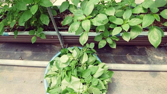 """二つの大きな違い、それは「生まれ」なんです。 「ツルムラサキ」は東南アジア原産で、""""インドのほうれん草""""と呼ばれています。一方、「モロヘイヤ」は北アフリカ原産で、アラビア語では""""王様の野菜""""と言われているんですよ。  ※上写真は「モロヘイヤ」"""