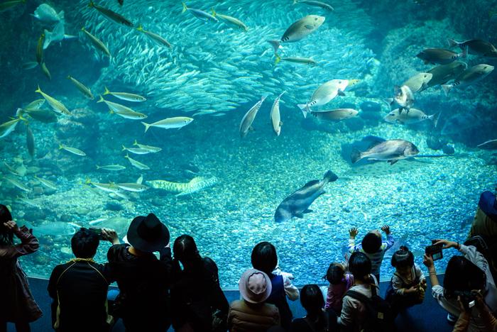 「相模湾大水槽」の前に立つと、聞こえてくるのは波の音。できるだけ自然の環境に近づけるために、人工波を起こす装置を設置しているそう。岩場に隠れる魚、悠々と泳ぐ魚などさまざまな魚に見とれてしまいますね。銀色に光りながら泳ぐ約8,000匹のマイワシの大群も圧巻です。