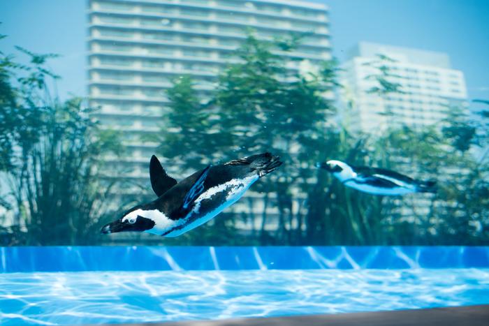 """1978年開業の歴史ある「サンシャイン水族館」は、2011年にリニューアルオープンし、大人も満足できる水族館として人気を集めています。コンセプトは""""天空のオアシス""""。メディアでもたびたび紹介された「空飛ぶペンギン」など、大人も童心にかえって楽しめるエリアがたくさん。"""