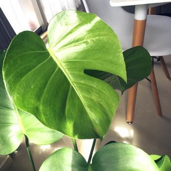お店やカフェなどでも良く見掛けるおしゃれな観葉植物、モンステラ。土の表面に乾燥を感じたら、お水をあげるようにましょう。根腐りを起こしてしまうこともあるので、しっかりと観察をしながら量を調節して下さい。