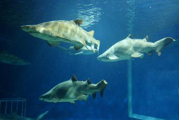 こちらの水族館は、サメの飼育種数が日本で一番多いことでも知られています。全長が3mを超えるシロワニや、獰猛なシュモクザメなど54種類のサメを観ることができます。ここまで近くで観る機会はなかなかないので、大人もドキドキしてしまいますね。