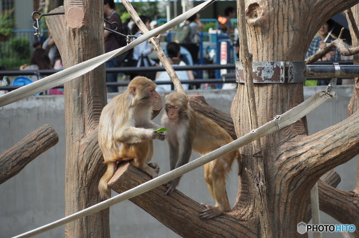 水生物園から歩道橋を渡ると「動物園(本園)」です。正門から時計回りにまわって真ん中あたりにある「サル山」には、アカゲザルがいます。おしゃべりしているような表情や、子ザル同士がじゃれあっている姿などいつまで眺めていても飽きませんね。