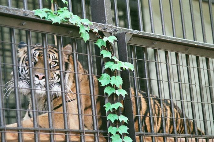 入口からまっすぐ歩くと見えてくるのがライオンとトラのゾーン。凛々しい姿に思わず圧倒されますね。