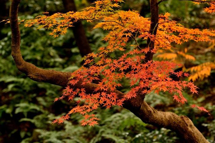 大きな池や滝など自然豊かな園内。しっとりと色づくモミジも絵になりますね。