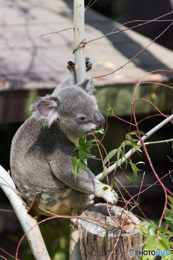 入口からほど近い「オセアニア区」にはコアラがいます。1日の大半を眠って過ごすコアラですが、13時過ぎのランチタイムはぱっちり目を覚ますので、時間を合わせて訪れてみませんか?