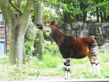 20世紀に入ってから発見された珍しい動物「オカピ」にもここで会えます。キリンの仲間とされていますが、足の模様はシマウマに似ていますよね。そのユーモラスな姿にくぎ付けです。  ほかにも、合わせて40種ほどの動物や鳥類がいるので、ぜひ足を運んでみてはいかがでしょうか?