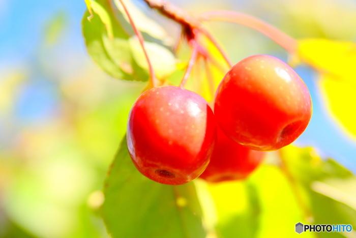 「りんごは医者を遠ざける」と言われる事もありますが、加熱しても壊れにくいビタミンCや腸内環境を整える食物繊維など体にうれしい成分を豊富に含んでいます。一年中手に入るフルーツですが、旬の物は味も香りも新鮮です。ぜひ、おいしく食べて下さいね。