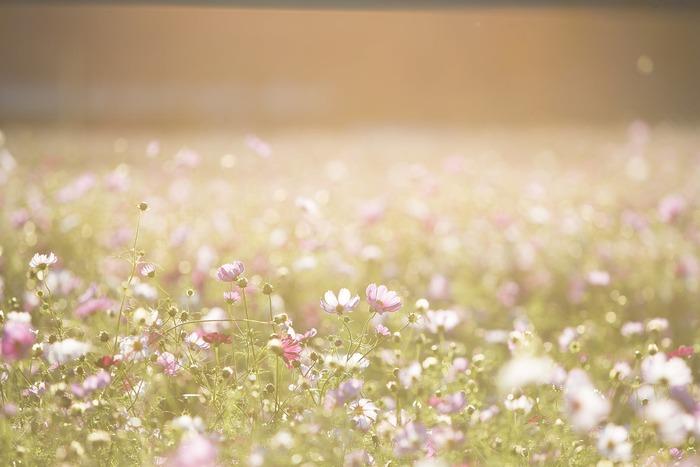 道端に咲く野の花を見かけると、ふっと肩の力が抜けて心が和む経験はありませんか。花は見る人に癒しを与えてくれます。そんな花が一面に広がる「花の名所さんぽ」はいかがでしょう。秋ならコスモスやソバの花。年が明ければスイセンやロウバイ、春にはナノハナやポピーなど。可憐な花たちに囲まれて、移ろいゆく季節を感じるのも素敵です。