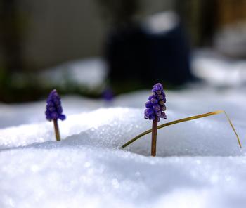 これらは寒い冬を越すために栄養がたっぷりと球根内に蓄えているからです。